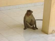 写真: お寺の猿。3月26日撮影 (2006年 THE POVERTIST / Ippei Tsuruga)